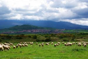 Pecore a Maletto